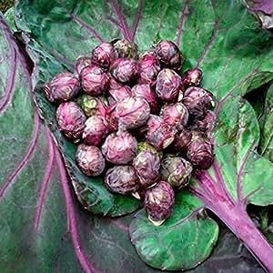 白鳥紫千頭キャベツ種子芽キャベツキャベツミニ野菜種子 - 50個/ロット