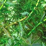ミナミヌマエビ 20匹+死着補償2匹 エビ 飼育用・餌用にも