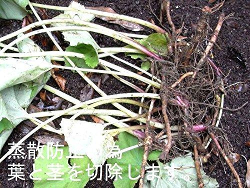 天然・野生・蕗・ふき・フキの苗【茎太】10株セット