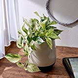 観葉植物「ポトス・マーブル」 インテリアグリーン 日比谷花壇