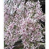 桜(サクラ):枝垂れ富士桜[シダレフジザクラ]3号ポット[鉢植・盆栽向き] ノーブランド品
