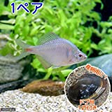 (淡水魚)タイリクバラタナゴ(1ペア)+ドブ貝(1匹) 本州・四国限定[生体]