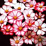 【メール便配送】 国華園 花たね コスモス ピコティ 1袋(50粒)【※発送が国華園からの場合のみ正規品です】