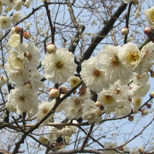 花梅[ハナウメ]:玉牡丹(たまぼたん)接木1年苗4〜5号ポット