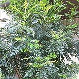 [シンボルツリー]シマトネリコ株立ち樹高2m前後[シンボルツリーに!艶のある葉を茂らせる常緑樹]