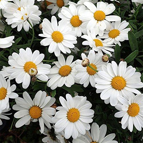 四季咲きマーガレット