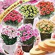 母の日カーネーション4号鉢お菓子セットバームクーヘンおまかせ(どんな色が届くかお楽しみ)母の日花とスイーツフラワーギフト鉢花