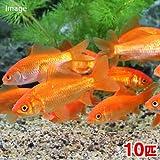 (金魚)生餌 小和金(コワキン) エサ用金魚(10匹) エサ金 餌金 本州・四国限定[生体]