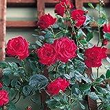 バラ苗 レッドニュードーン 国産大苗6号スリット鉢 四季咲き つるバラ(CL) 赤系