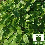 アシタバ(明日葉)3号ポット4株セット[人気の健康野菜苗] ノーブランド品