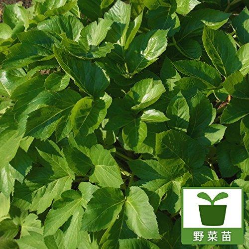 明日葉(アシタバ)3号ポット4株セット[人気の健康野菜苗] ノーブランド品