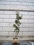 ソヨゴ 株立ち 樹高2.0m前後 (根鉢含まず)