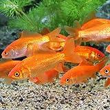(金魚)生餌 小和金(コワキン) エサ用金魚(5匹) エサ金 餌金 本州・四国限定[生体]