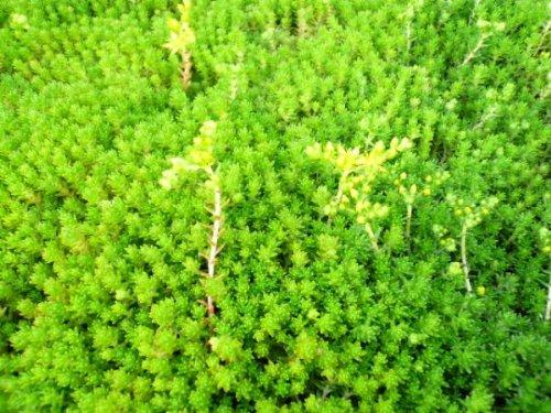 セダム/多肉植物  大量【スチロール30cmx40cm分】