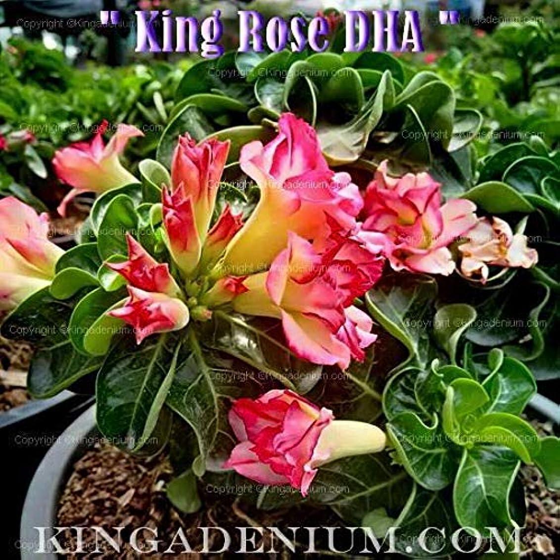 公爵夫人貫入のり有機種子だけでなく、植物:アデニウムOBESUM DESERTは