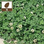 [タネ]シロクローバー:白クローバー(シロツメグサ)1kg[春・秋まき 約110平米分] ノーブランド品