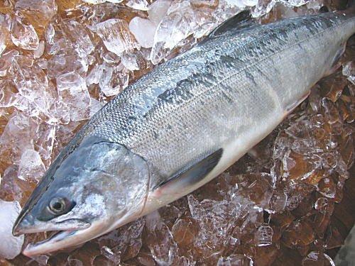 【海産問屋 カネニ】 No.144 極上!鮮秋鮭 (メス) 2.5kg前後(1本物)