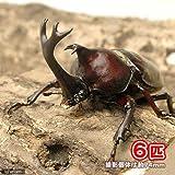 (昆虫)国産カブトムシ 幼虫(2~3令)(6匹) 本州・四国限定[生体]
