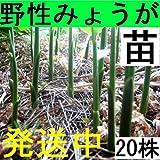 【名水の里・黒部】発送中!正真正銘!天然茗荷・みょうが・ミョウガ♪栽培苗20株