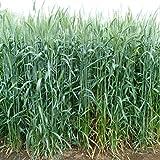 [Amazon限定!]牧草種子:ライ麦 ハルミドリ 2kg[タネ][10~12月まき][硬盤破砕、敷ワラ、防風]