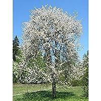 オーガニック種子:500種:甘いチェリーの種子、FarmerlyによってPRUアビウム