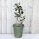 フランスゴムの木(曲がり)5号鉢植え/ブリキダストボックス(直径25cm) ノーブランド品