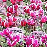 ガーデン シクラメン 3号苗 24鉢セット
