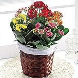 母の日ギフト 花 人気商品 鉢植え (カランコエ カランディーバ)