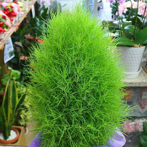 コキア(ホウキ草)鉢植え  モジャモジャの優しい緑が秋には赤...