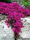 Amazon.co.jp新しい種子2015!100種子ロットスカーレットクリーピングタイムの種子家宝非GMO家宝グラウンドカバーの花の種子