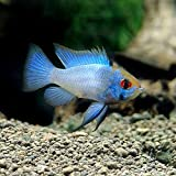 (熱帯魚)ブルーダイヤモンド・ラミレジィ(3匹) [生体]