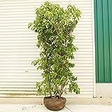 庭木:常緑ヤマボウシ(ホンコンエンシス・月光) 株立ち(2-5本立ち)樹高:約160cm 全高180cm (大型商品)発送