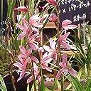 和蘭:松風2.5号ポット 育てて咲かせるランの苗 すばらしい香りの和蘭 ノーブランド品