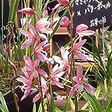 和蘭:松風2.5号ポット[育てて咲かせるランの苗 すばらしい香りの和蘭] ノーブランド品
