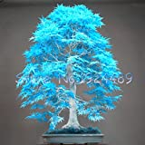 50PCSエレガントな粉末青もみじ種子ミニ盆栽種子盆栽の木の種子メープル種子盆栽ガーデンホーム