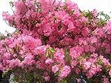【ツツジの女王】シャクナゲツツジ樹高0.3m前後 希少な品種