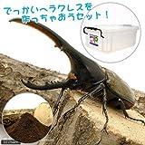 (昆虫)でっかいヘラクレスを作っちゃおうセット(カブトムシ幼虫5匹付)(説明書つき) 外国産カブトムシ 本州・四国限定[生体]