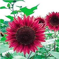 フラワーシード50PCミニレインボーヒマワリの種、希少なグリーン、ピンク、赤、ひまわりの種、観賞用盆栽
