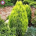 種子パッケージ: 新品種を栽培しやすい20枚/ gでのRツリーevergre yをsのDIYホームガール盆栽