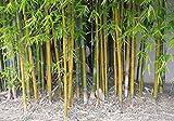 指示盆栽インベル竹の種子 - ホウライチク属Oldhamiiガーデンデコレーション工場はB50を100個