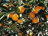 【果樹苗】ミカン/中生温州 5号ポット 【柑橘】 【常緑高木】