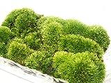 青森県 産 山苔 細葉白髪苔(ホソバシラガゴケ)約95×165mmSサイズ(小)パック詰め (苔)こけ コケ