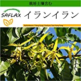 SAFLAX - イランイラン - 10 個の種。- より良い栽培のための土壌を含みます - Cananga odorata