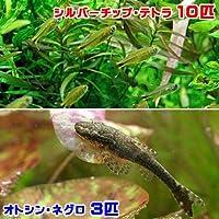 charm(チャーム) (熱帯魚)シルバーチップ・テトラ(10匹)+オトシン・ネグロ(3匹) 【生体】