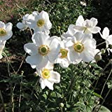シュウメイギク(秋明菊):白花一重3~3.5号ポット 3株セット[花壇・切花に人気の秋の花] ノーブランド品