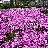 芝桜(シバザクラ):ダニエルクッション3号ポット40株セット