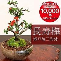 ミニ盆栽:長寿梅(瀬戸焼三彩鉢)* 即日出荷可!