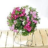 花由 母の日限定 1つで3色楽しめる ウェルカムローズ スタンド付 ミニバラ 鉢植え