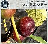 イチジク 苗木 ロンドボルドー 2年生苗 果樹 果樹苗木 【世界のイチジク】