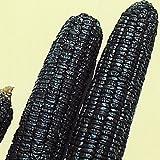 【メール便配送】 国華園 野菜たね トウモロコシ 黒もちとうもろこし 1袋(30ml)【※発送が国華園からの場合のみ正規品です】